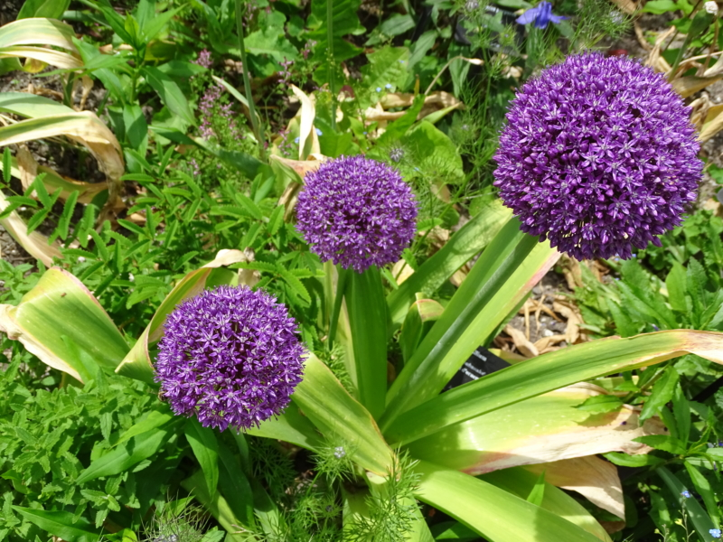 allium_blog